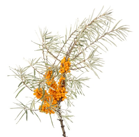 argousier: Branch of sea-buckthorn with ripe berries isolated on white background.