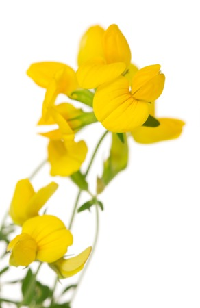 plantaginaceae: Toadflax flowers closeup isolated on white background.