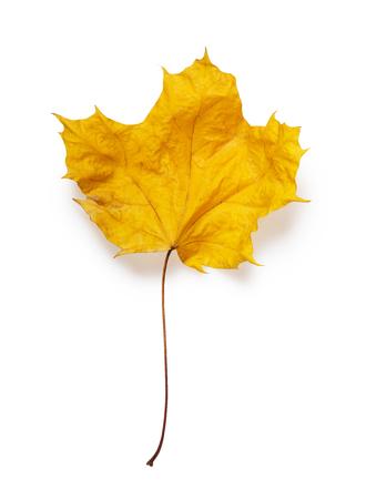 Dry maple leaf isolated on white background