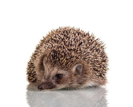 Hedgehog prickly little animal, isolated on white background