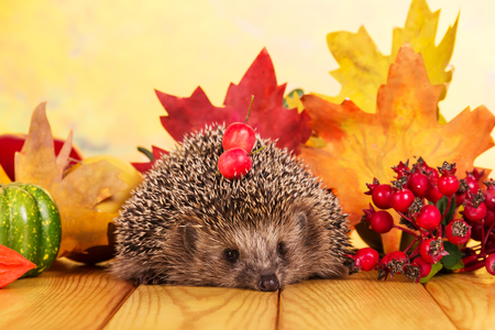 Funny little hedgehog on wooden table, on background bright autumn leaves Stock Photo