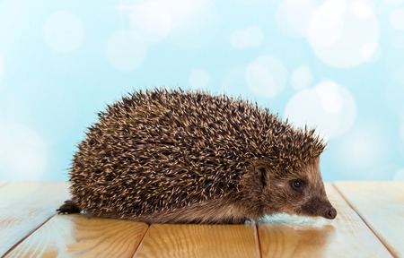 Funny little hedgehog on the table, on light blue background