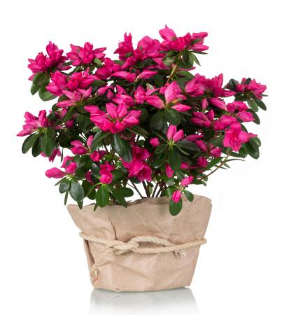 Luksusowy różowy kwiat azalia w doniczce na białym tle