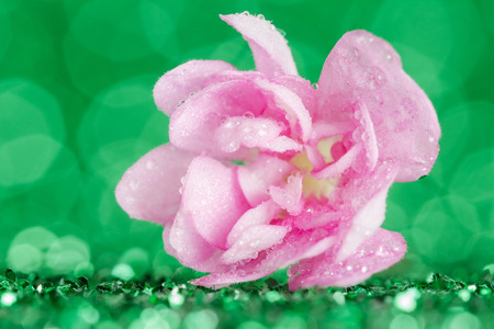 Pink viola flower in water drops closeup on a green background with bokeh effect