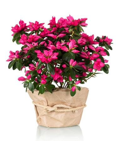 Azalea flower in the pot in kraft paper isolated on white background