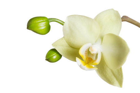 Flower yellow Phalaenopsis orchids and prescribes buds isolated on white background