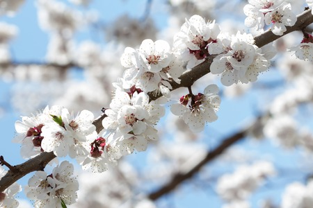 Spring flowers of apricot close up on sky background 版權商用圖片 - 124678372