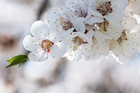 Spring. The first flowers of an apricot tree. Close-up. Delicate petals 版權商用圖片