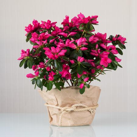 Beautiful azalea flower in a brown pot on light background 版權商用圖片 - 124678673
