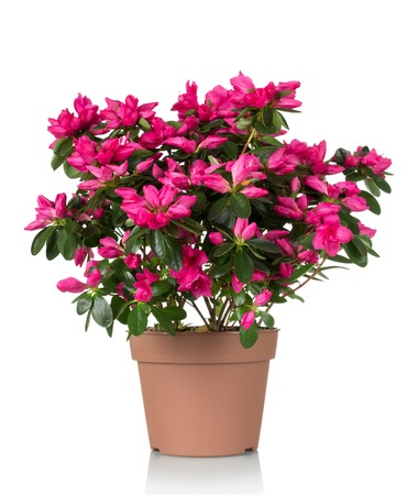 Azalea flower is in the pot. Bright beautiful pink flowers isolated on white background