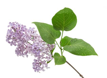 Small sprig of lilac with leaves in water drops isolated on white background Stock Photo