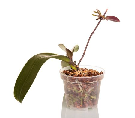 Transparent pot with orchid, branch with new shoots, isolated on white background Archivio Fotografico