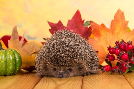 Funny gray prickly hedgehog sits on table, against background of bright autumn leaves