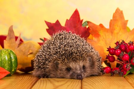 Grey prickly hedgehog sits on wooden table on background bright autumn leaves