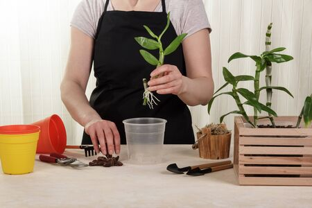 Woman transplanting young orchids in moss into pots. Housewife taking care of home plants and flowers. Hobby Standard-Bild