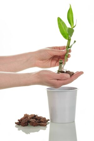Female hands hold a young sprout of dendrobium on a pot, closeup, isolated on a white background.