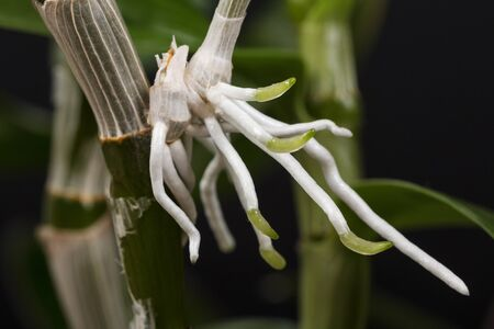 Macro photo of the roots of the process of the dendrobium orchid, which grows on the mother plant. Close-up. Standard-Bild