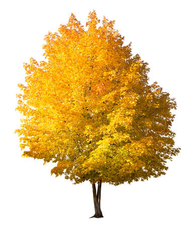 Autumn maple, bright tree with yellow and orange leaves isolated on white background