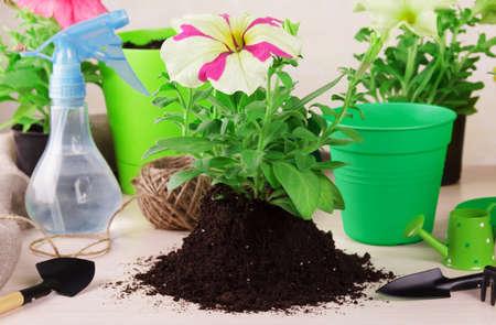 Planting seedlings of petunia plants in flowerpots. Soil, flower pots and other utensils