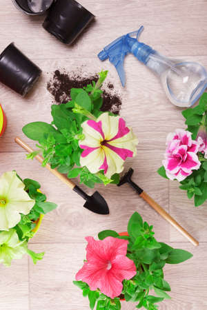 Seedlings of street petunia flowers, sprinkler for water, inventory. Top view