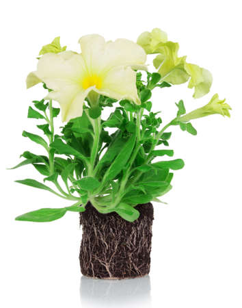 Petunia plant with root system and yellow flowers isolated on white background
