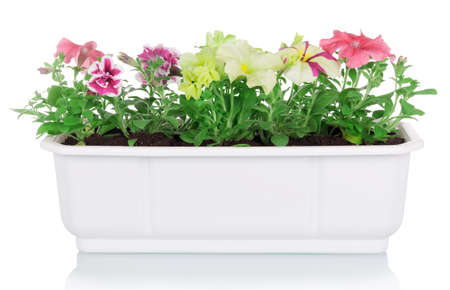 Flowerpot with multicolored petunia plants isolated on white background Archivio Fotografico