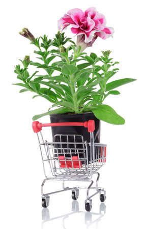 Petunia plant with root system in shopping cart isolated on white background Archivio Fotografico