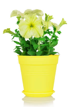 Yellow colored petunia plant in indoor pot isolated on white background Foto de archivo