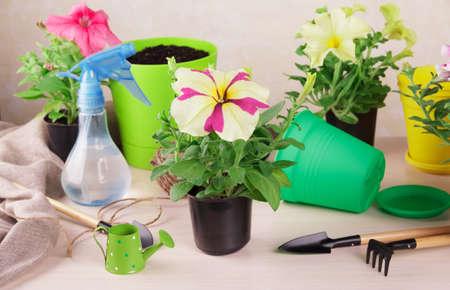 Hobby. Flower transplant. Floristics. Top view. Seedlings of petunia flowers, pots and tools Foto de archivo