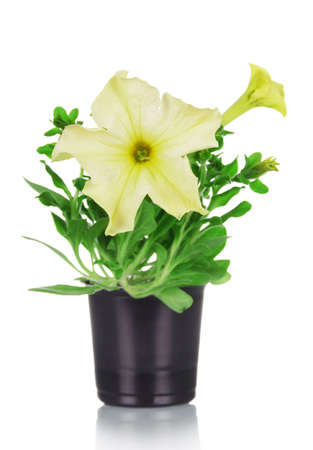 Petunia plant. Seedling in a plastic glass isolated on white background