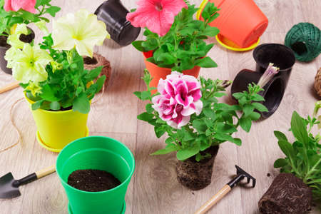 Home hobby. Transplanting petunia seedlings for the home garden Stock Photo