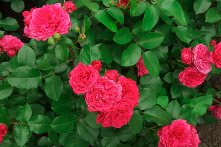 Lovely pink rose. Bush of beautiful pink roses on a flower bed Stock Photo