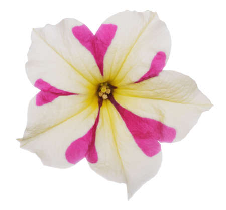 Variegated pink-beige petunia flower close up isolated on white background Stock Photo