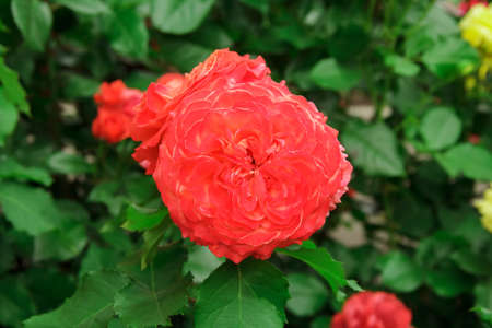 Beautiful red garden rose on a flower bed in the garden on a background of leaves