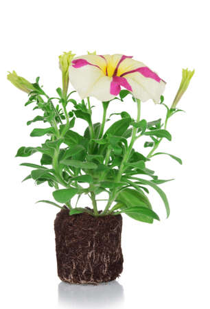 Petunia plant with unusual bicolor flowers isolated on white background