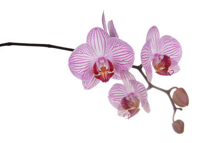 Blooming orchid branch with unusual flowers with stripes isolated on white background