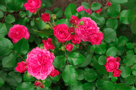 Bushes of a beautiful red rose on flower bed in the park
