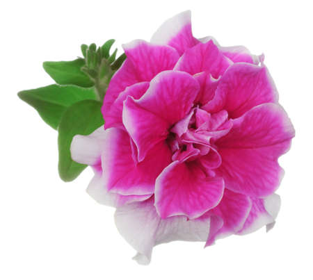 Pink with white border curly petunia flower isolated on white background