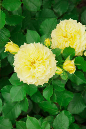 Yellow garden rose in a flowerbed on a background of leaves