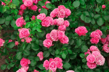 Street flower bed. Home garden. Beautiful pink garden rose outdoors