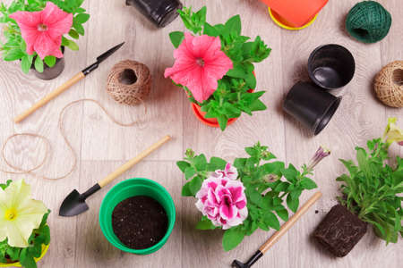Home gardening. Hobby. Transplanting petunia flowers into bright pots. Top view
