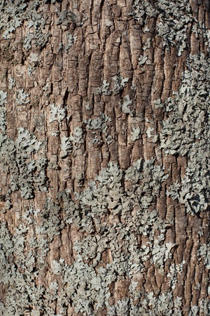 bark: Oak tree trunk with lichen as background in daylight