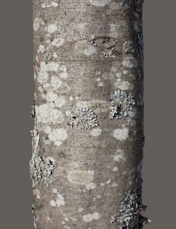 Tree trunk with bark texture isolated on gray background  clipping path  photo
