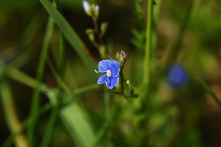 veronica flower: Blue Veronica Chamaedrys flower on spring meadow Stock Photo