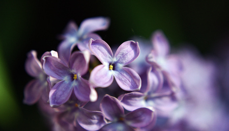 colour in: Flores de color lila violeta de mayo de Foto de archivo