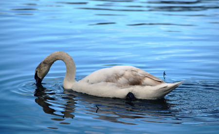 bounce: Swan on river with bounce in water in winter time