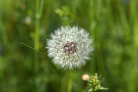 faded: Faded white dandelion in grass with dark sky