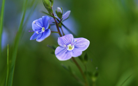 veronica flower: Veronica officinalis blue flower alias storm flower