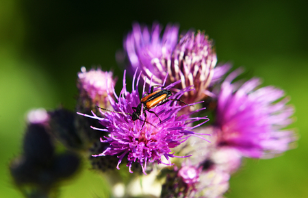 Ground beetle on thistle flower in May