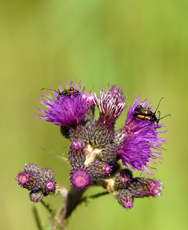 ground beetle: Ground beetle on thistle flower in May